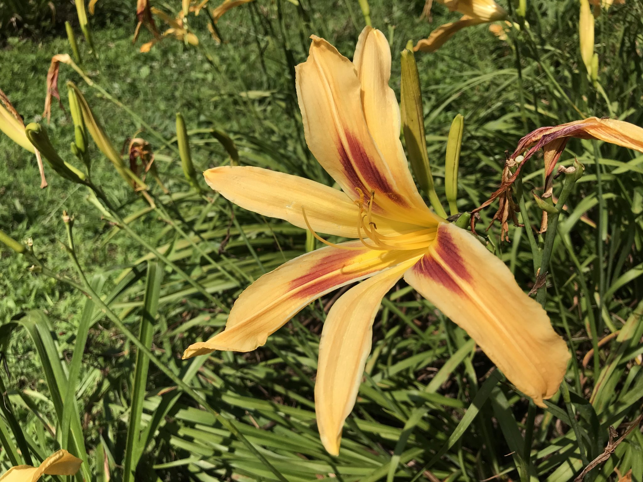 Spider-daylily-handsome-prince